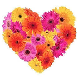 Treasured Touch Gerberas Premium Heart Shaped Arrangement