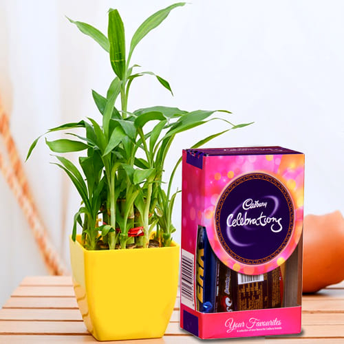 Lovely 2 Tier Lucky Bamboo Plant with Cadbury Celebrations Mini Pack