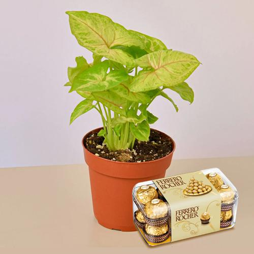 Festive Gift Pack of Potted Syngonium Plant N Chocolates