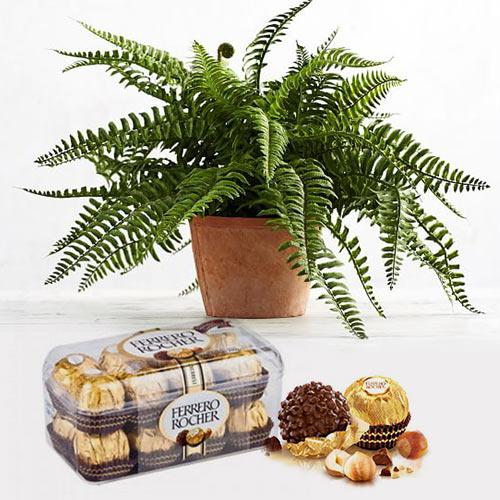 Exquisite Bostern Fern Indoor Plant with Chocolates